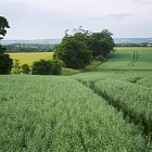 Spring Oats -  variety Firth