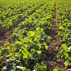 Oil Seed Rape plants
