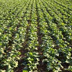 strong oil seed rape plants benefiting from a warm, dry Autumn